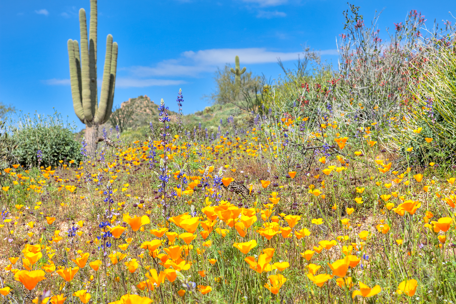 should the arizona desert bloom Arizona desert bloom landscape, marana, az 786 likes landscape maintenance, residential and commercial, tree removal, stump grinding, tree.